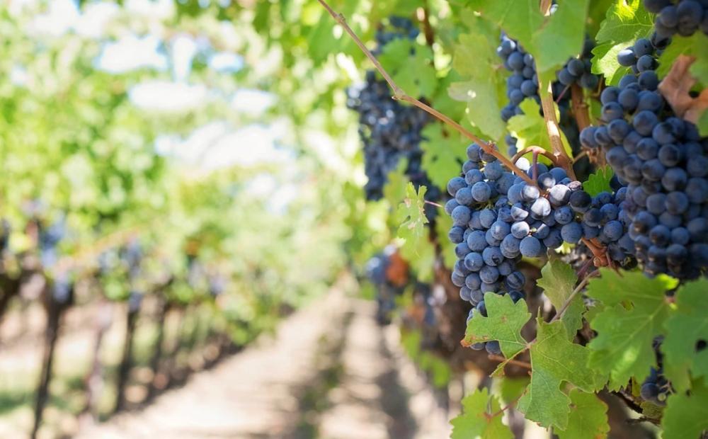 Росреестр предложил ввести новую категорию земель под «возделывание винограда»